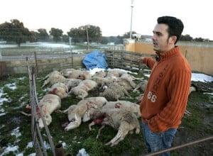 Imagen de archivo de un ataque del lobo a ovejas